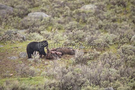 usa wyoming yellowstone national park black