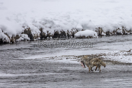 coyote catching a trout in the