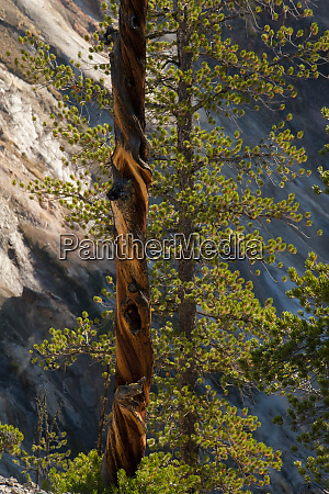 usa wyoming twisted tree and thriving
