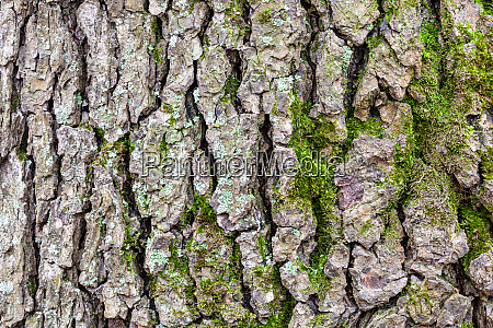 cracked bark on old trunk of