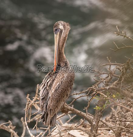 brown pelican portrait 2