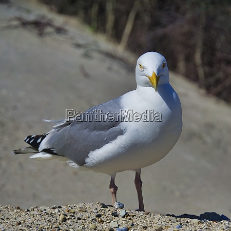 european herring gull on heligoland