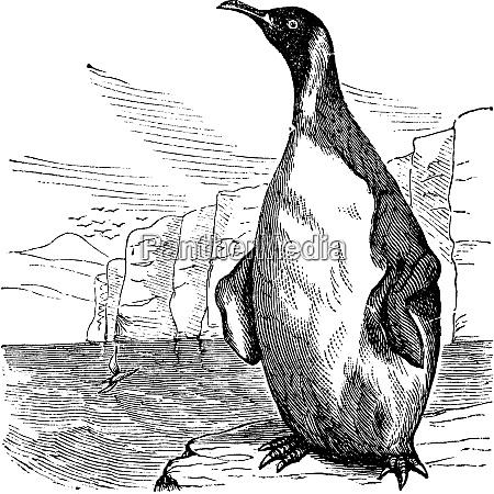 pinguino, king, o, aptenodytes, patagonicus, incisione - 27609177