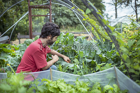 gardener, picking, broccoli, in, organic, vegetable - 27628126
