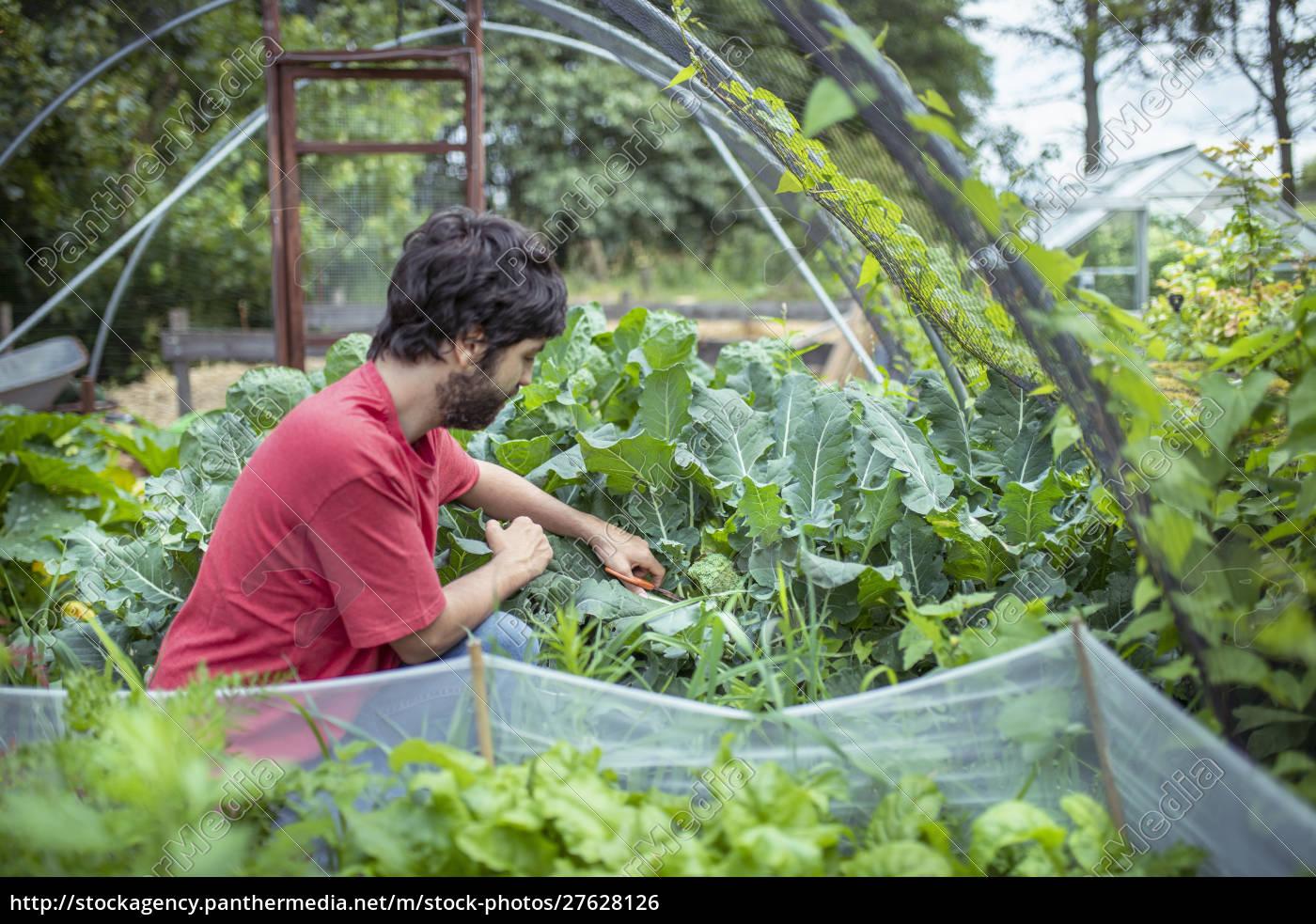 giardiniere, raccogliendo, broccoli, in, orto, biologico - 27628126