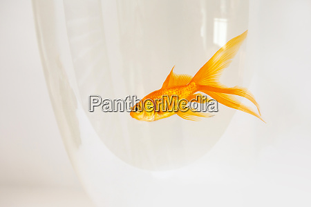 goldfish swimming in a fishbowl on