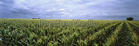 usa kansas cheyenne county cornfields stretch