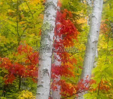usa michigan upper peninsula birch betula