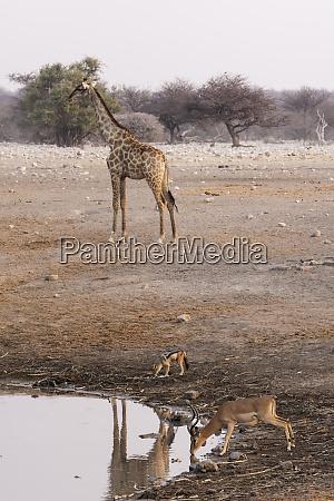 giraffe giraffa camelopardalis angiogenesis black faced
