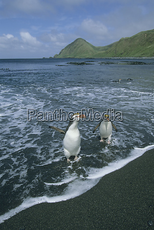 royal penguin eudyptes schlegeli returning from