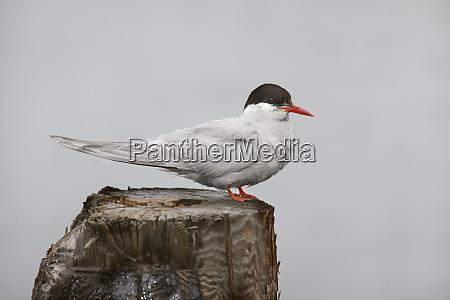 antarctica south georgia grytviken antarctic tern