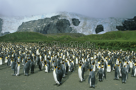 king penguins aptenodytes patagonicus colony south