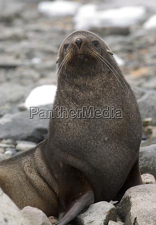 antarctic fur seal on beach in