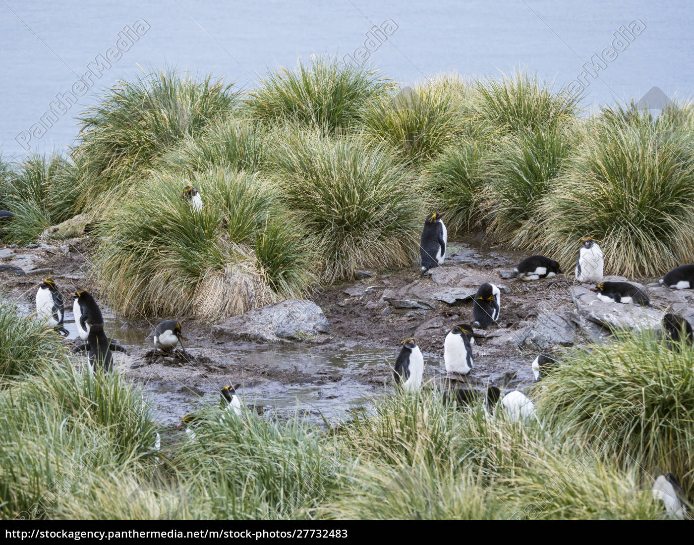 pinguino, maccaroni, (eudyptes, chrysolophus), in, piedi - 27732483