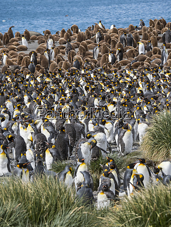 pinguino, re, (aptenodytes, patagonicus), sull'isola, della - 27732529