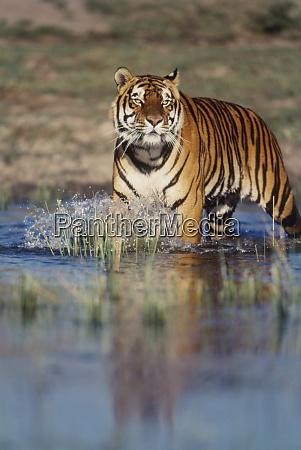 india tigre del bengala panthera tigris