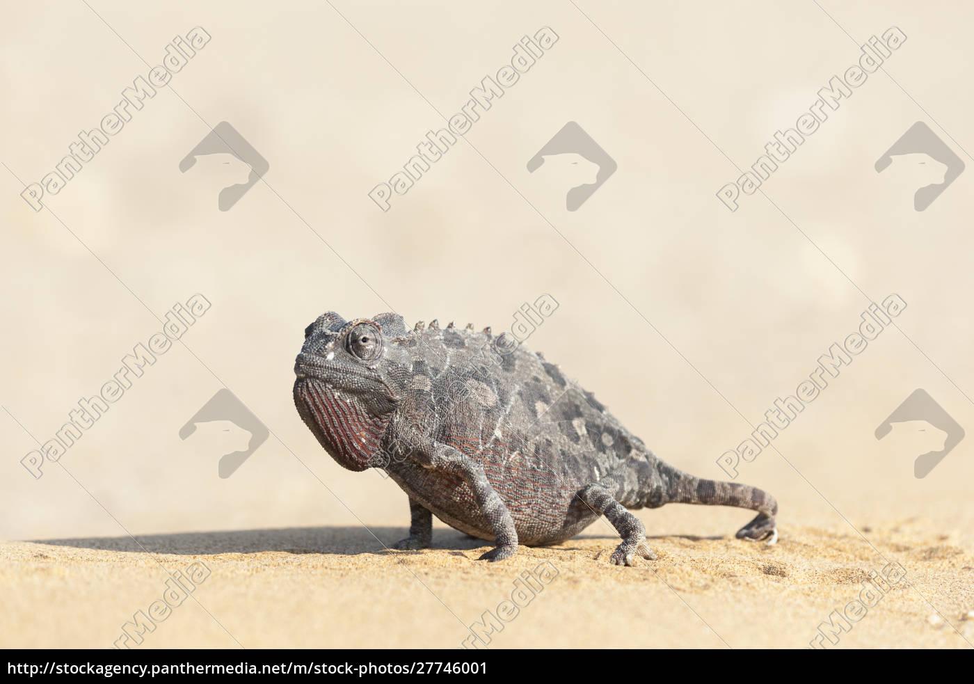 africa, namibia, swakopmund, namaqua, chameleon, chamaeleo, namaquensis., namaqua, camaleonte, cammina - 27746001