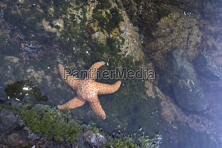 ochre star pisaster ochraceus in dicebox