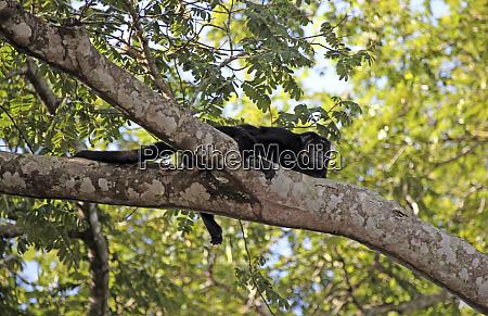 south america brazil pantanal a