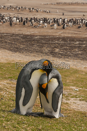 falkland islands saunders island gentoo penguins