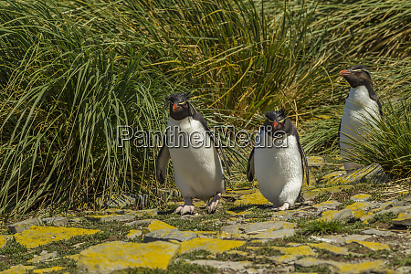 falkland islands bleaker island rockhopper penguins
