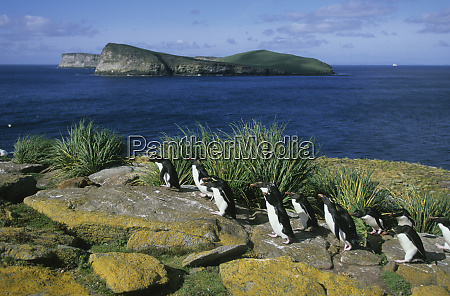 rockhopper penguins eudyptes chrysocome return to