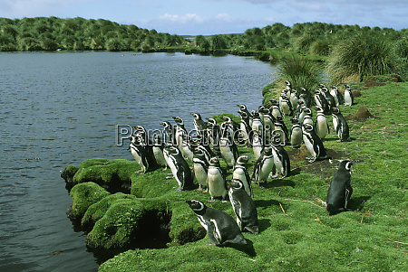 magellanic penguins spheniscus magellanicus sea lion