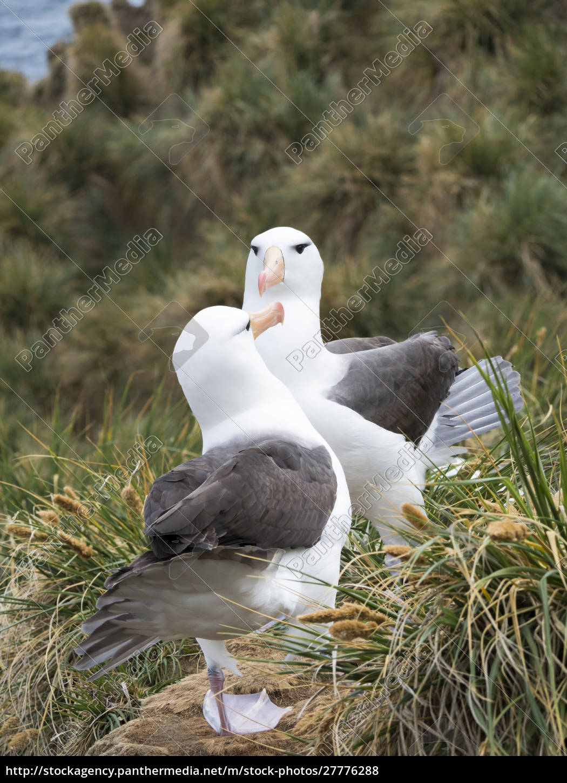 albatross, dalle, sopracciglia, nere, o, mollymawk - 27776288