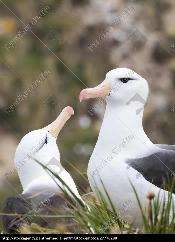 albatross, dalle, sopracciglia, nere, o, mollymawk - 27776298