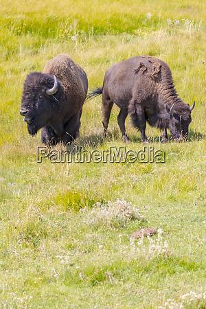 usa wyoming yellowstone national park two