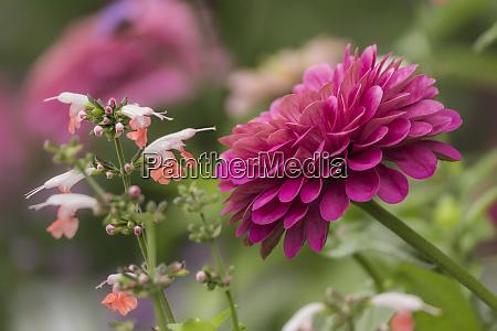 fiore di zinnia e fiore snapdragon