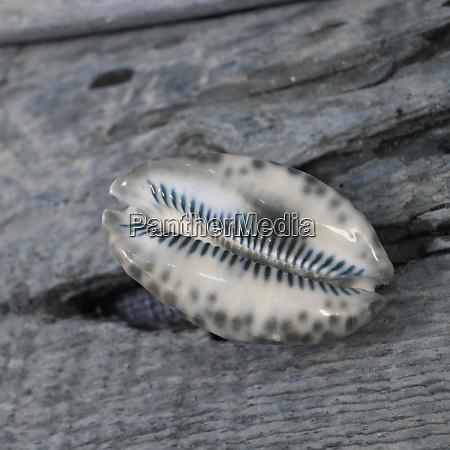natutical, shell, natura, morta. - 27888307