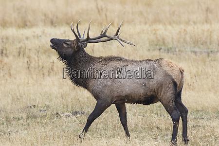 alce cervus canadensis maschio toro bugling