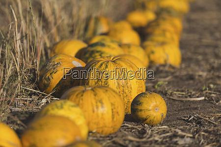 zucche gialle su un campo