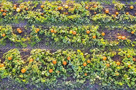 scozia lothian orientale campo di zucche