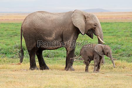 mucca elefante africano loxodonta africana con