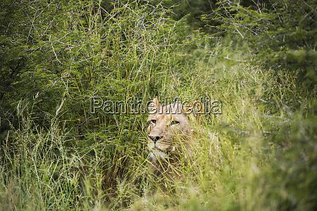 un leone femmina parzialmente nascosto nellerba