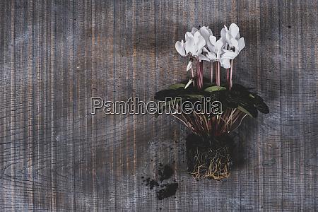una pianta di ciclamino con fiori