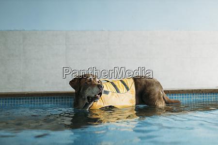 brown, labrador, retriever, indossa, giubbotto, di - 28747690