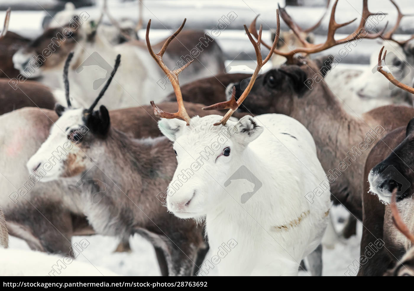 reindeers, on, a, farm, , hetta, , enontekioe, - 28763692
