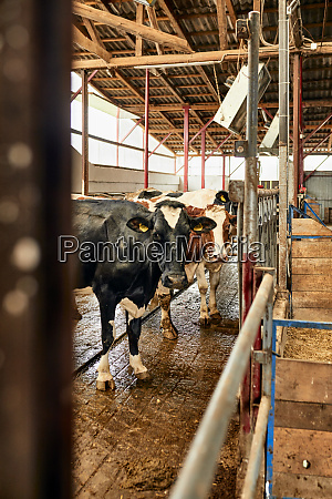 cows, standing, in, dairy, farm - 28764508
