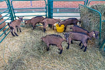 goat, farm - 28824700