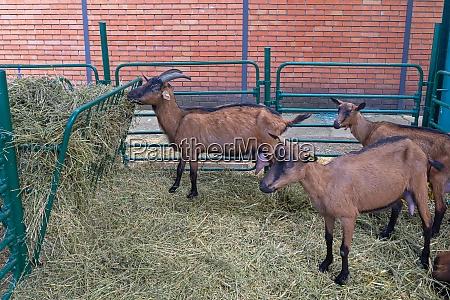 goats, farm - 28833340