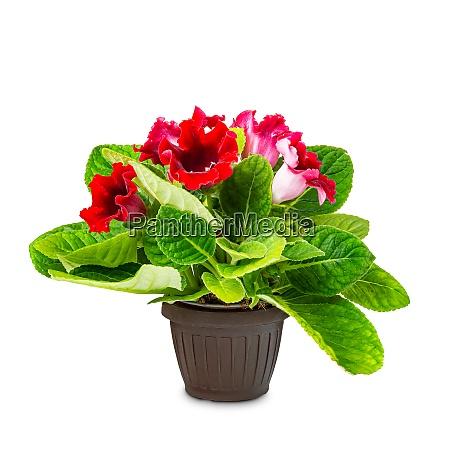 pianta dinterni gloxinia