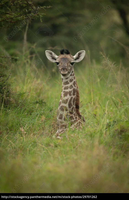 baby, masai, giraffe, lies, in, long - 29701262
