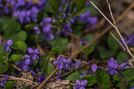 molti viola fresco nella foresta