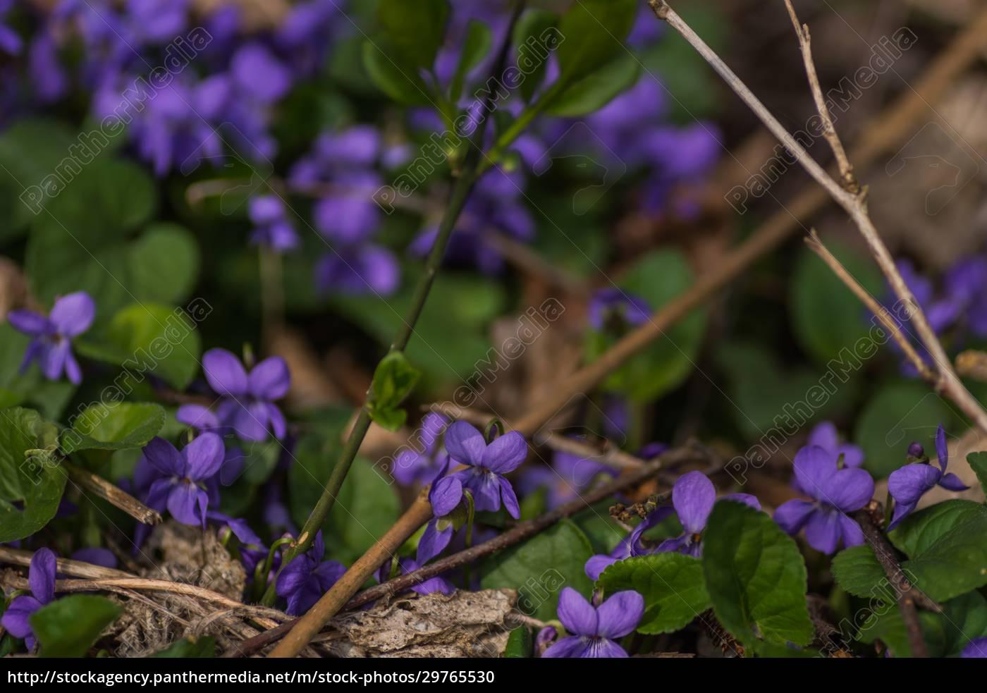 molti, viola, fresco, nella, foresta - 29765530