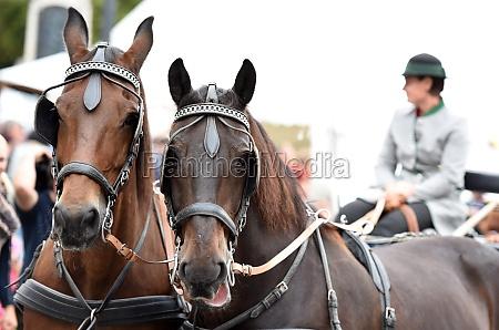 ein, pferdegespann, beim, bauernmarkt, a, mondsee, Österreich, europa - 29766821