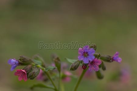 fresh lungwort colorato nella natura