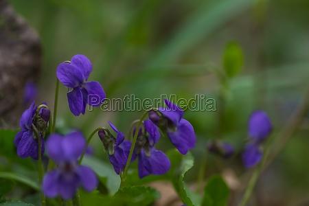 viola fresco profumato nellerba verde